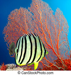 Eight-banded Butterflyfish Chaetodon octofasciatus, Siam...