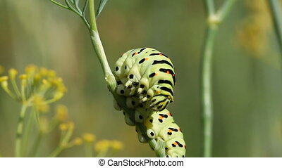 Swallowtail caterpillar crawling on thin reed