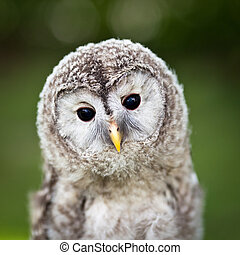 Close up of a baby Tawny Owl Strix aluco