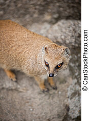cute yellow mongoose  - cute yellow mongoose