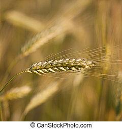 Ears of ripe barley growing in a farm field