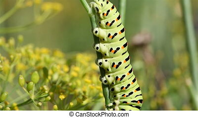 Swallowtail caterpillar - Swallowtail caterpillar crawling...
