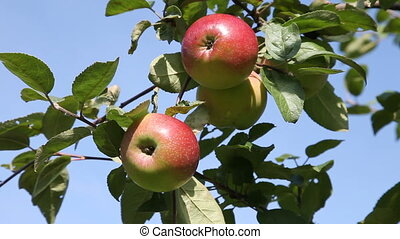 Picking apple from tree - Hand picking up ripen apples from...