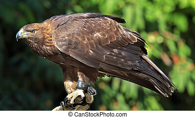 Golden Eagle Aquila Chrysaetos - Golden Eagle Aquila...