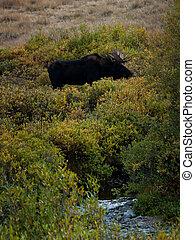 Moose - Bull moose in Colorado