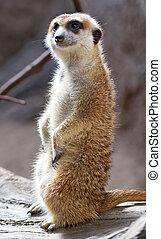 Meerkat Suricate Suricata Suricatta Standing Up - Meerkat...