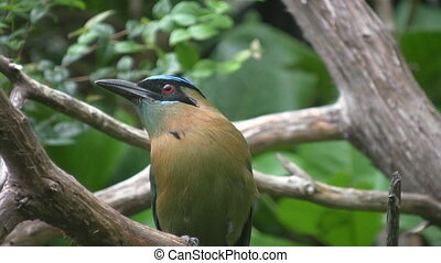 Blue crowned mot mot - A beautiful blue crowned mot mot...