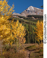 Golden Aspens - Golden aspens at the Woods Lake, Colorado