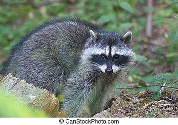 Rccoon standing. - Raccoon standing on the ground.