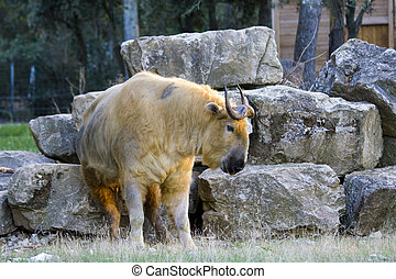Takin Budorcas taxicolor - The rare goat-antelope in...
