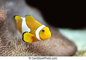 Nemo - The Marine Fish - Ocellaris clownfish