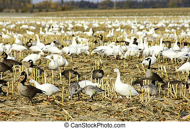 Canadian and snow geese in cut corn field