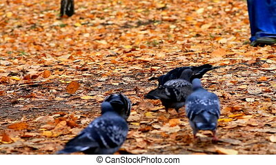 pigeons in autumn Park