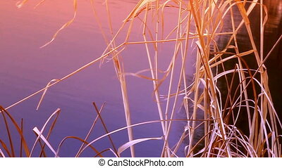 water end Sedge