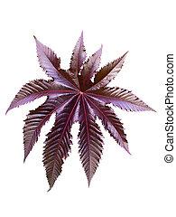 burgundy leaf of a plant castor - burgundy castor plant leaf...
