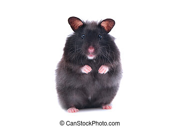 black hamster - close up shot of black humster isolated on...