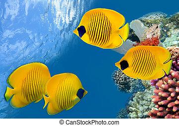 mascarado, borboleta, peixe