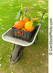 Harvest - Wheelbarrow full of freshly harvested pumpkins is...