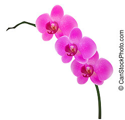 orchid - Illustration of orchid isolated on white background...