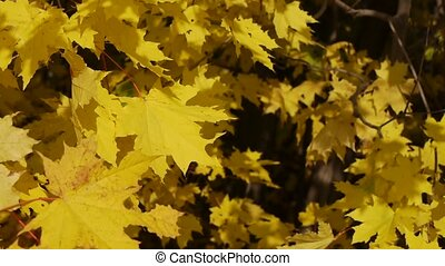 yellow maple leaves on wind