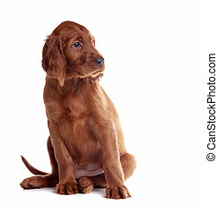puppy setter sitting on the white background