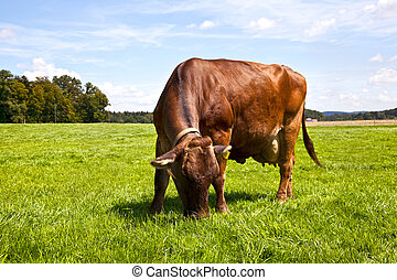 Brown Swiss Cow in the Pasture
