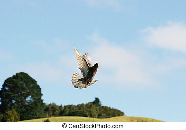 Beautiful brown pigeon flying in