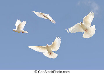White dove in flight - Composite image of a white dove in...