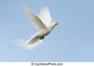 White dove in flight - Beautiful white dove in flight, blue...
