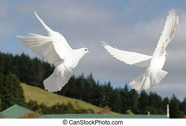 weißes, fliegendes, Tauben