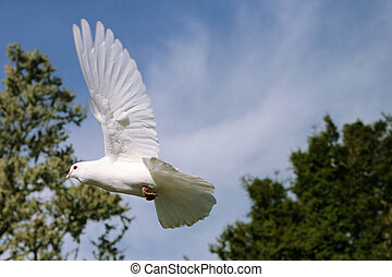 White dove in flight - Beautiful white dove in flight flying...