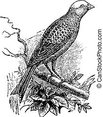 Lizard Canary, vintage engraving.