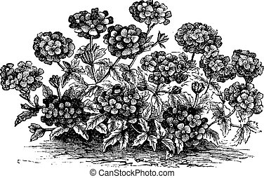 Verbena or Vervain or Verbena sp, vintage engraving -...