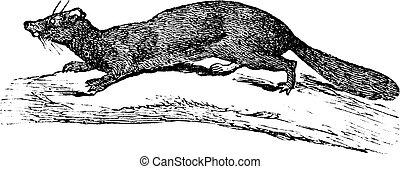 American Mink or Neovison vison, vintage engraving -...