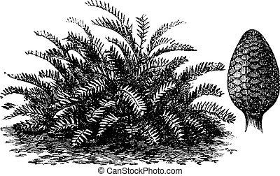 Zamia integrifolia or Coontie vintage engraving - Zamia...