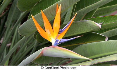 Bird Of Paradise - Hand comes in and holds a tropical Bird...