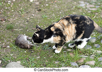 Cat with Dead Rat - Dead rat hunted by a domestic Cat