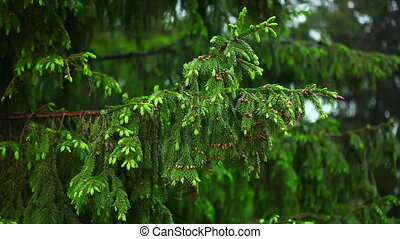 Wet spruce twig - Rain Spruce needles and raindrops