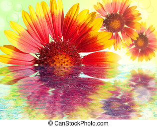 Colourful Gerbera daisies reflected in water