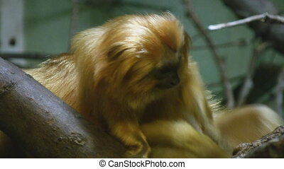 Monkey. Scratch and sniff. - A golden tamarind monkey...