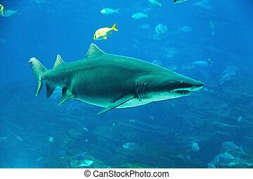 Tiger, 鯊魚