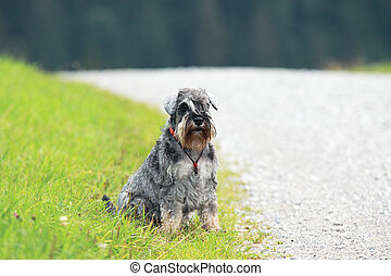 schnauzer by the road - lonely schnauzer sits by the road