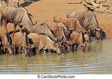 Blue wildebeest drinking - Blue wildebeest (Connochaetes...
