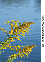 Goldenrod (disambiguation) in sunlit on blue background