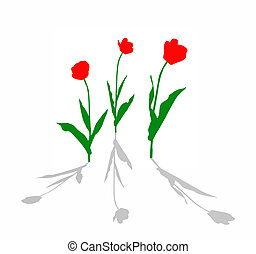 drawing tulip on white background