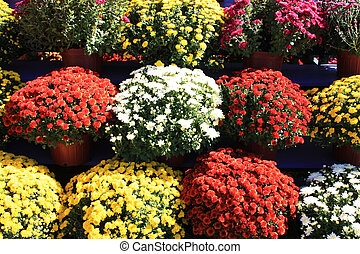 Mums - A variety of mums for sale at the pumpkin patch