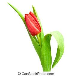 rouges, tulipe