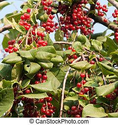 Viburnum - red Viburnum