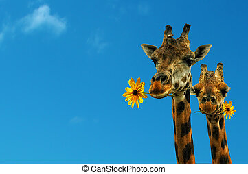 Two lovely giraffes looking at you with flowers