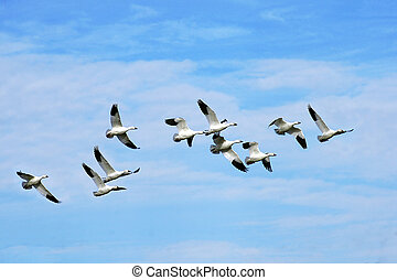 Beautiful snow geese in flight - Beautiful snow geese flying...